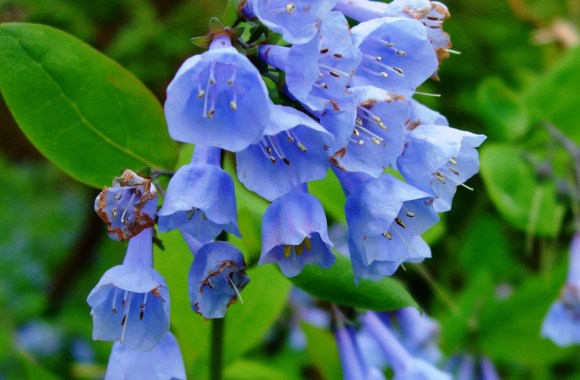 Beautiful Bluebell Flowers Photo Picture Free Download