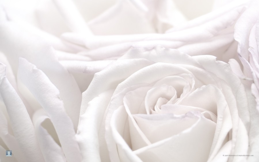 Beuatiful White Rose Flowers HD Wallpaper Photo Picture Sharing