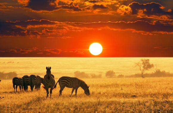 Photo of Zebras and Sunset Wallpaper