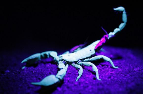 Scorpion HD Wallpaper