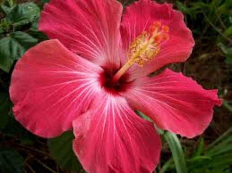 Hibiscus-1920