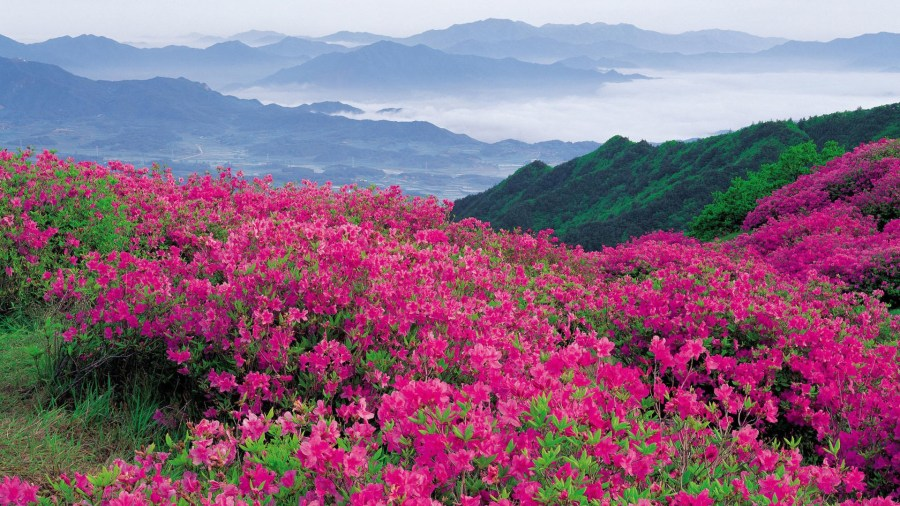 Pink Flowers and Mountain Background