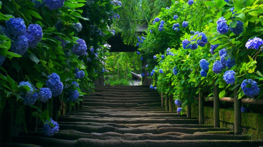 Blue Hydrangea Walkway