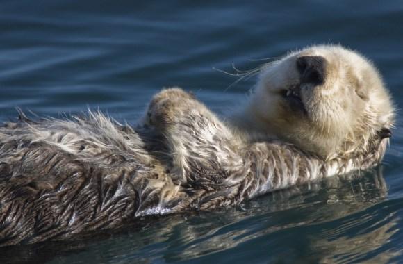 Sleeping Sea Otter HD Wallpaper