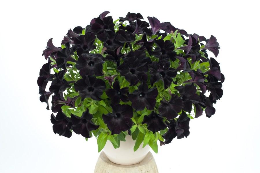 Black Petunia HD Wallpaper by Wallsev.com
