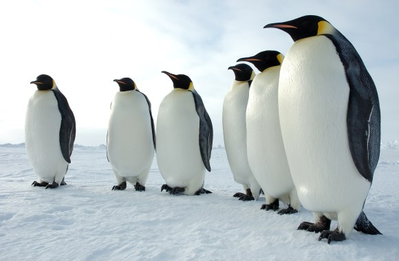 Emperor Penguins HD Wallpaper