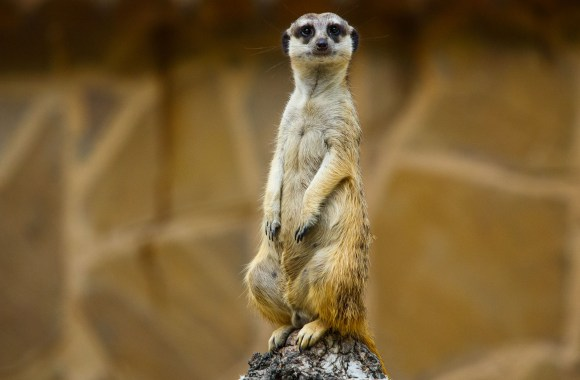 Meerkat on a Limb HD Wallpaper