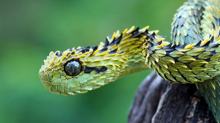 Bush Viper HD Wallpaper by Wallsev.com
