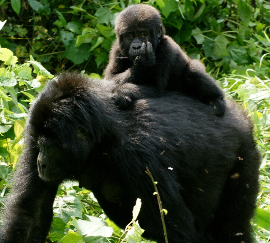 Mother and Baby Gorilla HD Wallpaper by Wallsev.com