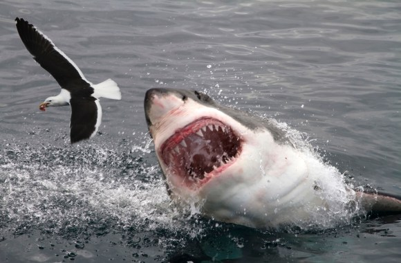 White Shark Attacking A Bird HD Wallpaper