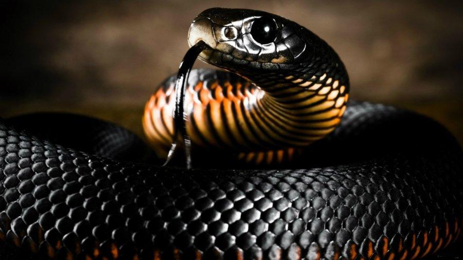 Black Mamba Snake HD Wallpaper by Wallsev.com