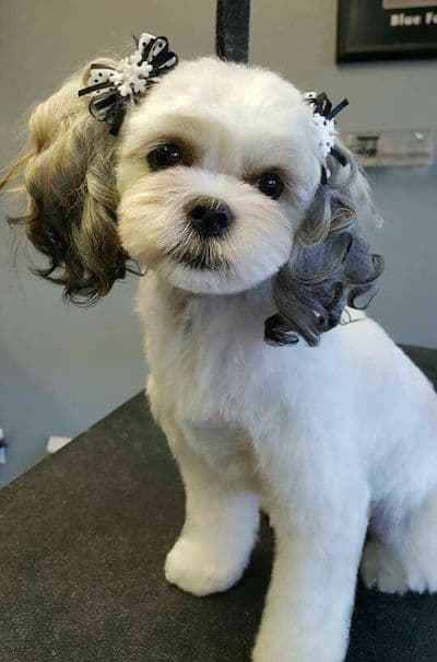 New 15 Maltese Haircuts Hairstyles White Fluffy And Looking Fabulous Ideas With Pictures