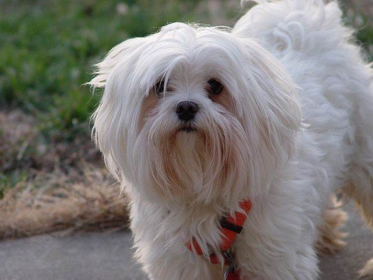 New Maltese Haircuts That Are Are Perfect For Your Pet Ideas With Pictures