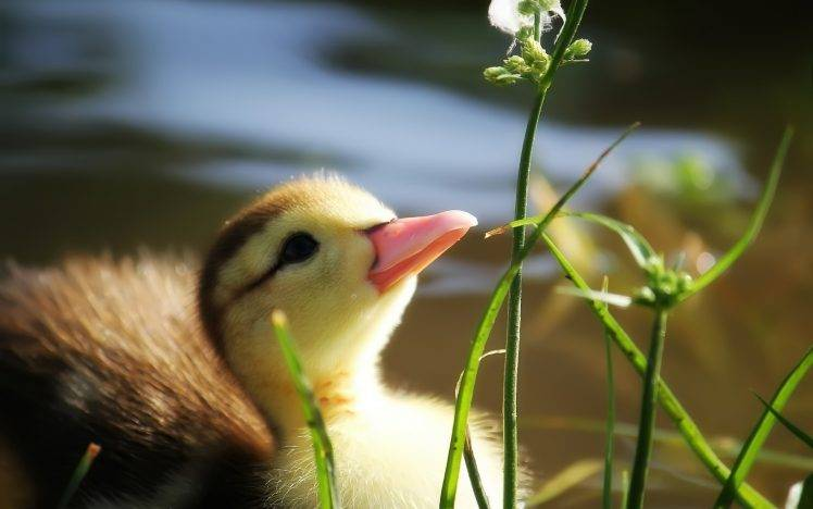 Cute Baby With Parents Wallpaper Baby Duck In Grass Wallpapers Hd Desktop And Mobile