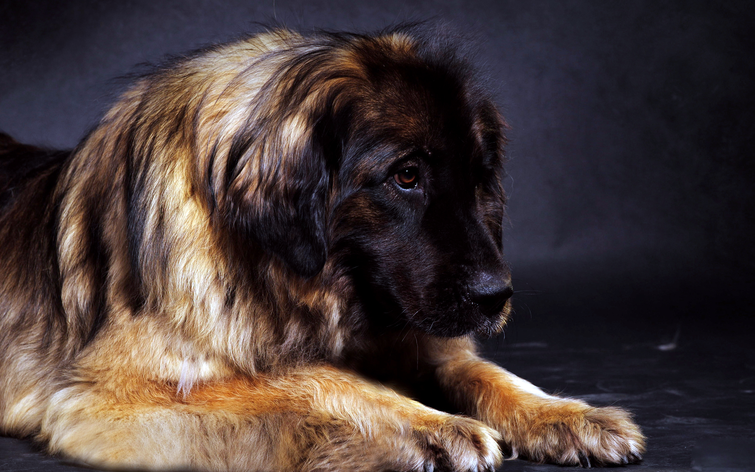 Cars Wallpapers In Full Hd Best Leonberger Dog Free Download Wallpapers Hd Desktop