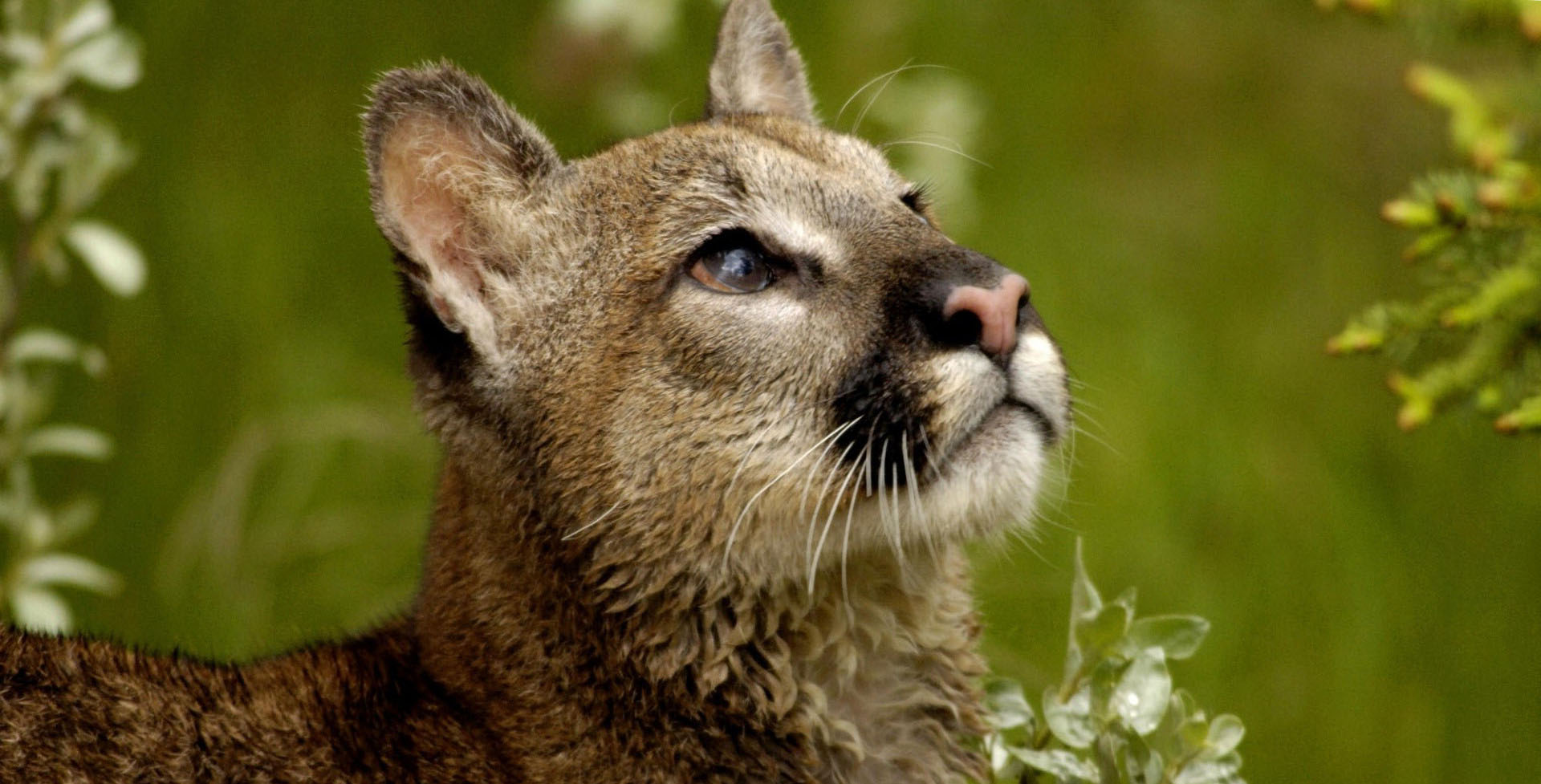 Wallpaper Hd For Desktop Full Screen Cute Baby A Cougars At The Montana Wallpapers Hd Desktop And
