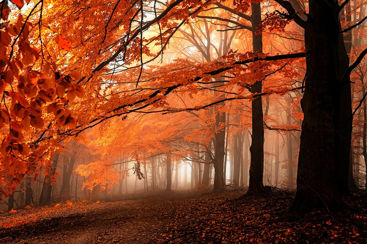 Fall Leaves Hd Desktop Wallpaper Fall Path Mist Leaves Forest Orange Trees Nature
