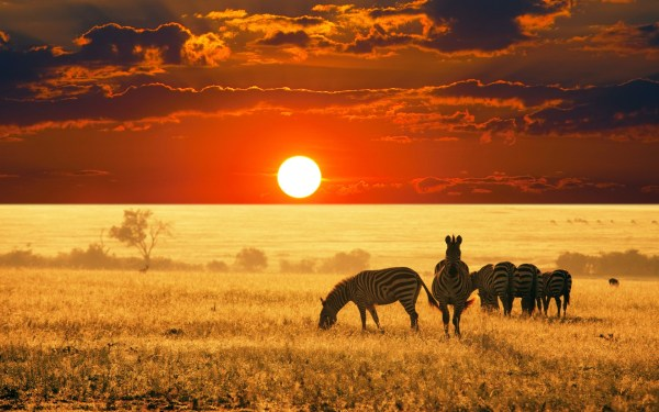 animals africa zebras sunset