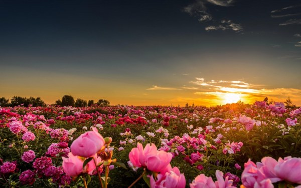 sunset sunlight flowers rose
