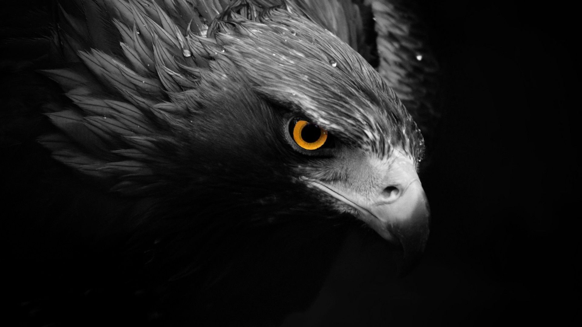 Awesome Wallpapers For Desktop 3d Hawks Birds Animals Selective Coloring Wallpapers Hd