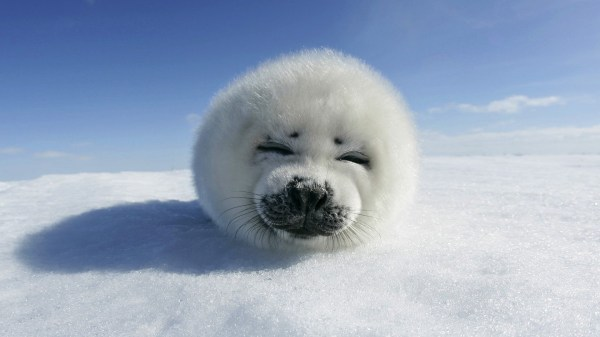 Baby White Seal