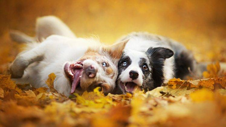 Happy Fall Wallpaper 1366x768 Dog Animals Depth Of Field Fall Wallpapers Hd Desktop