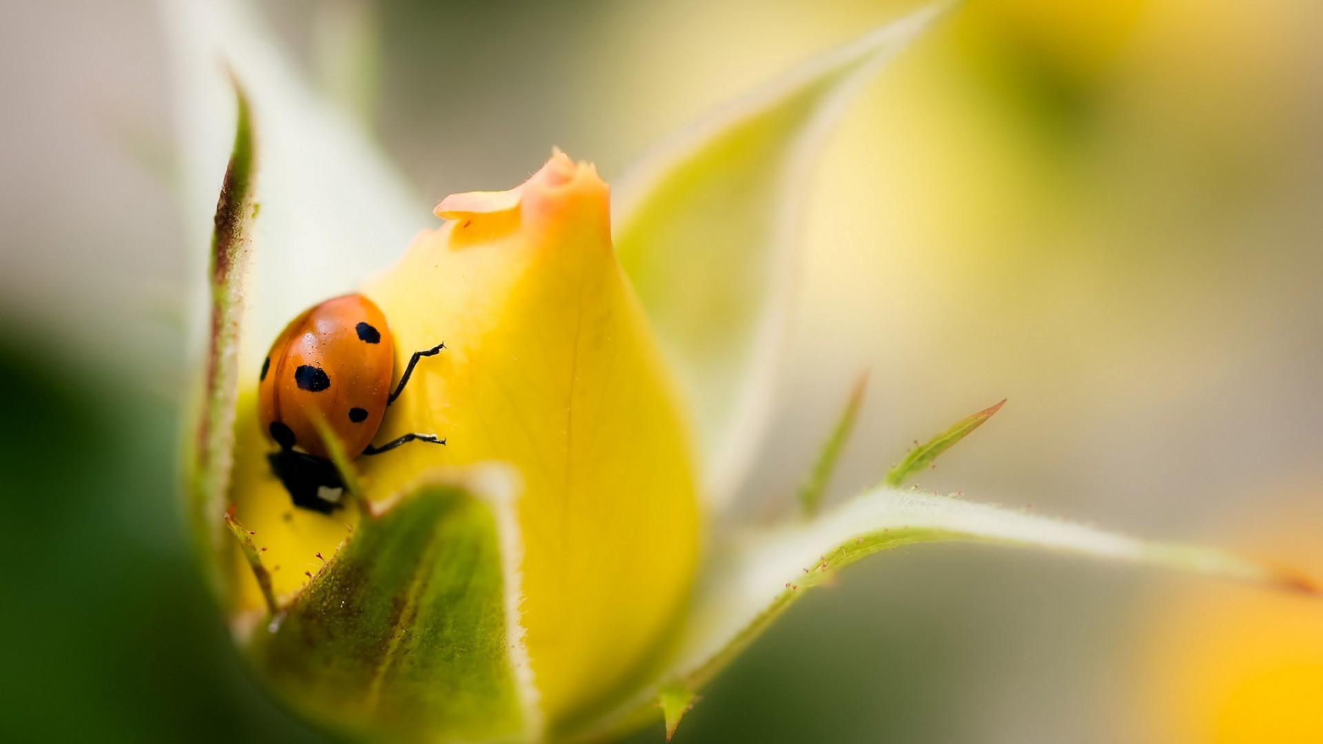 Rain Fall Hd Wallpaper Download Rose Macro Flowers Ladybugs Insect Yellow Flowers