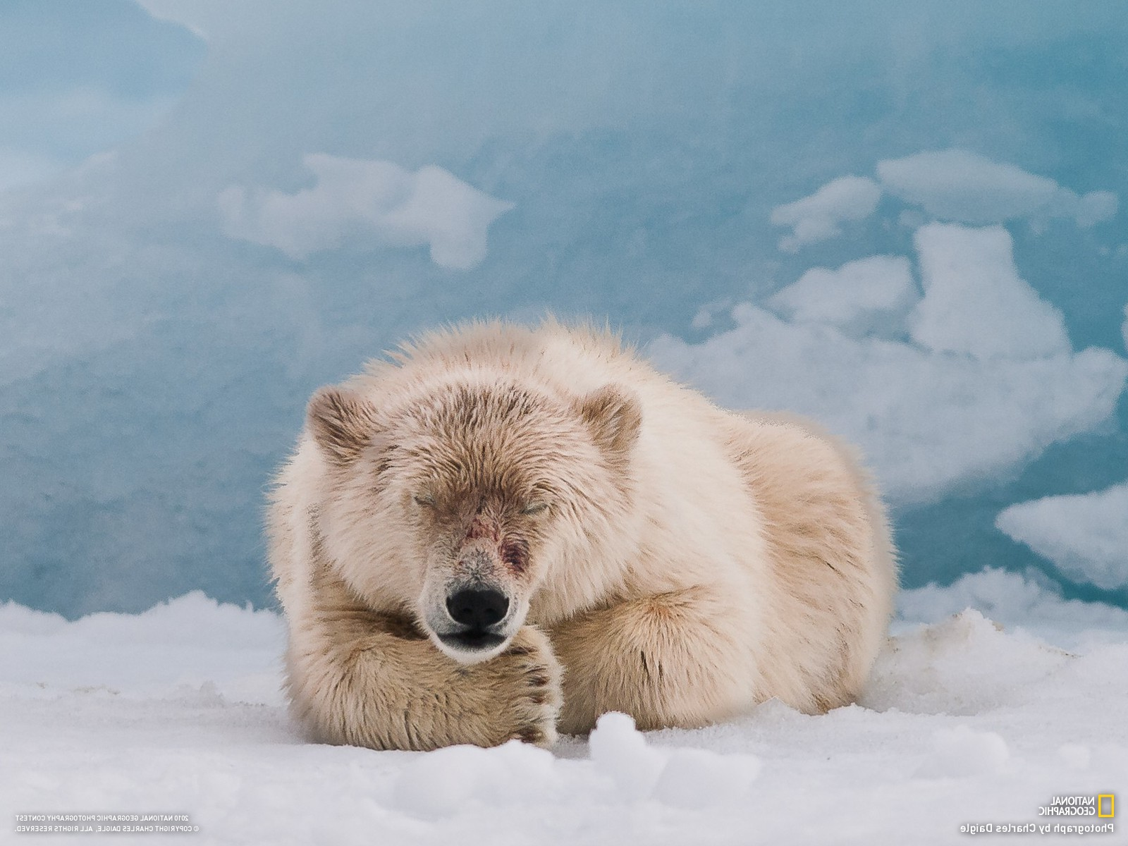 4k Wallpaper 3d National Geographic Polar Bears Animals Snow National Geographic Wallpapers