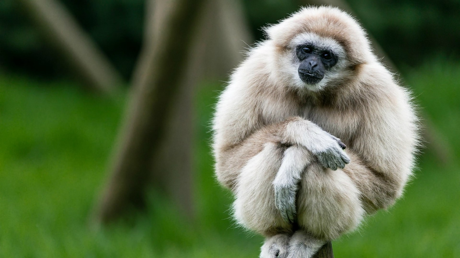 gibbons Animals Apes Wallpapers HD  Desktop and Mobile