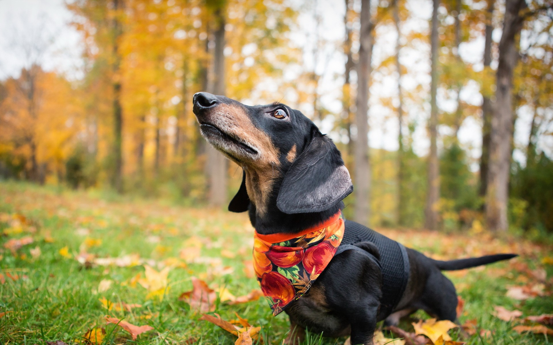 Image result for fall dog picture, dogs who are crazy about the fall