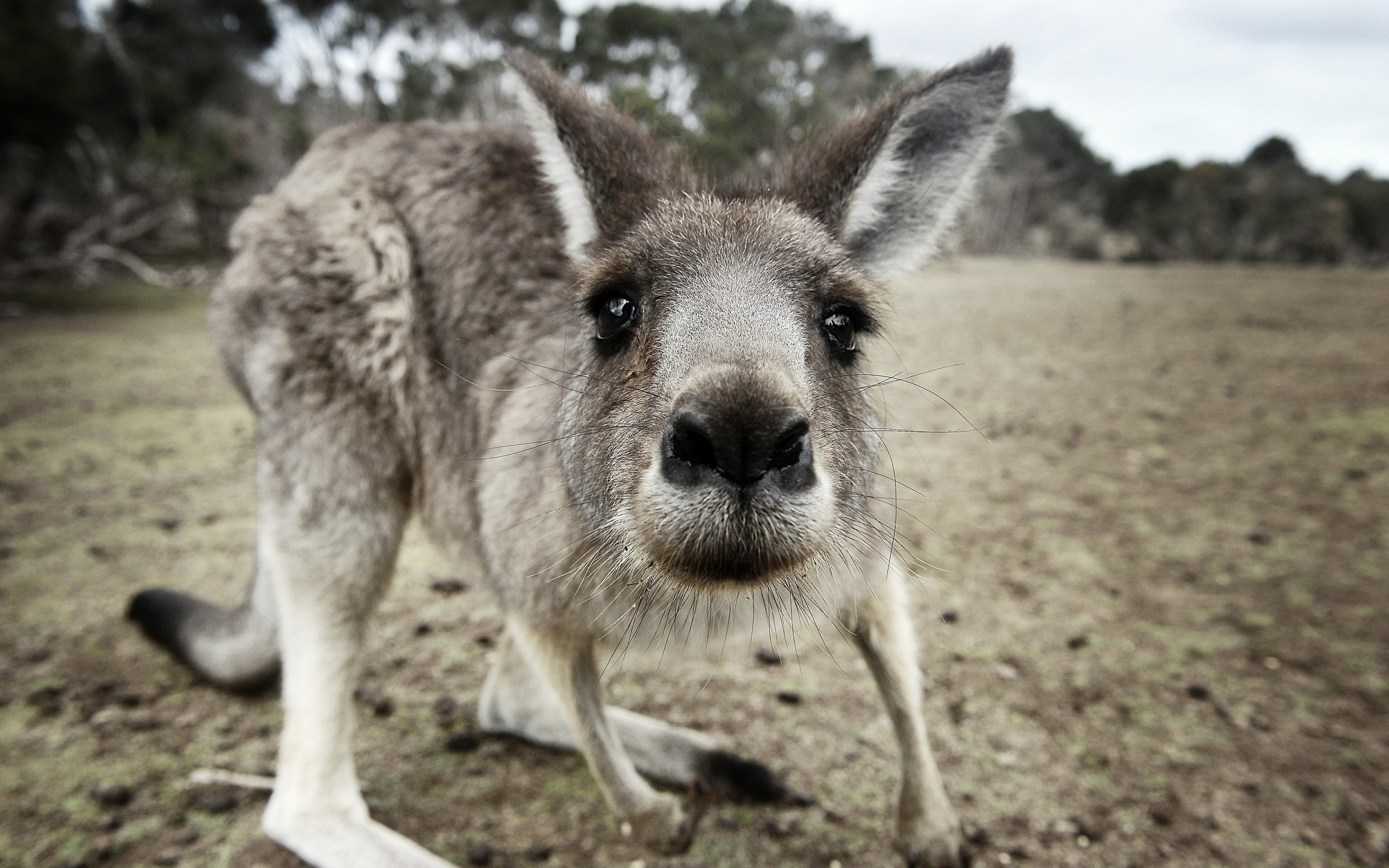 Kangaroo Wallpaper Hd Animals Kangaroos Closeup Wallpapers Hd Desktop And