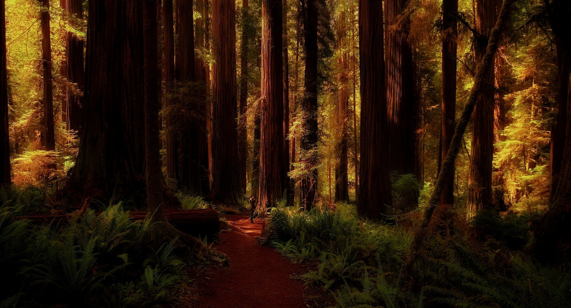 Dual Screen Wallpaper Fall Nature Landscape Redwood Forest Ferns Trees Path