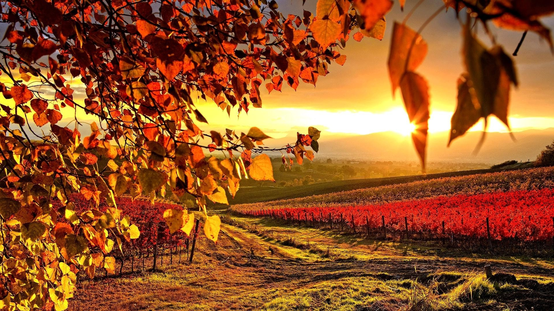 Fall Hd Wallpapers 1080p Widescreen Vineyard Nature Landscape Sunlight Wallpapers Hd