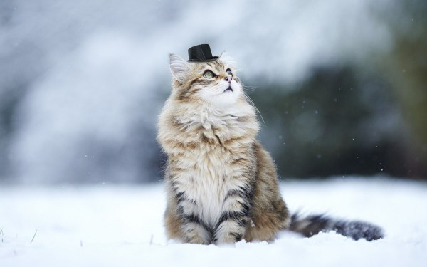 Winter Cat Snow Wallpapers Free