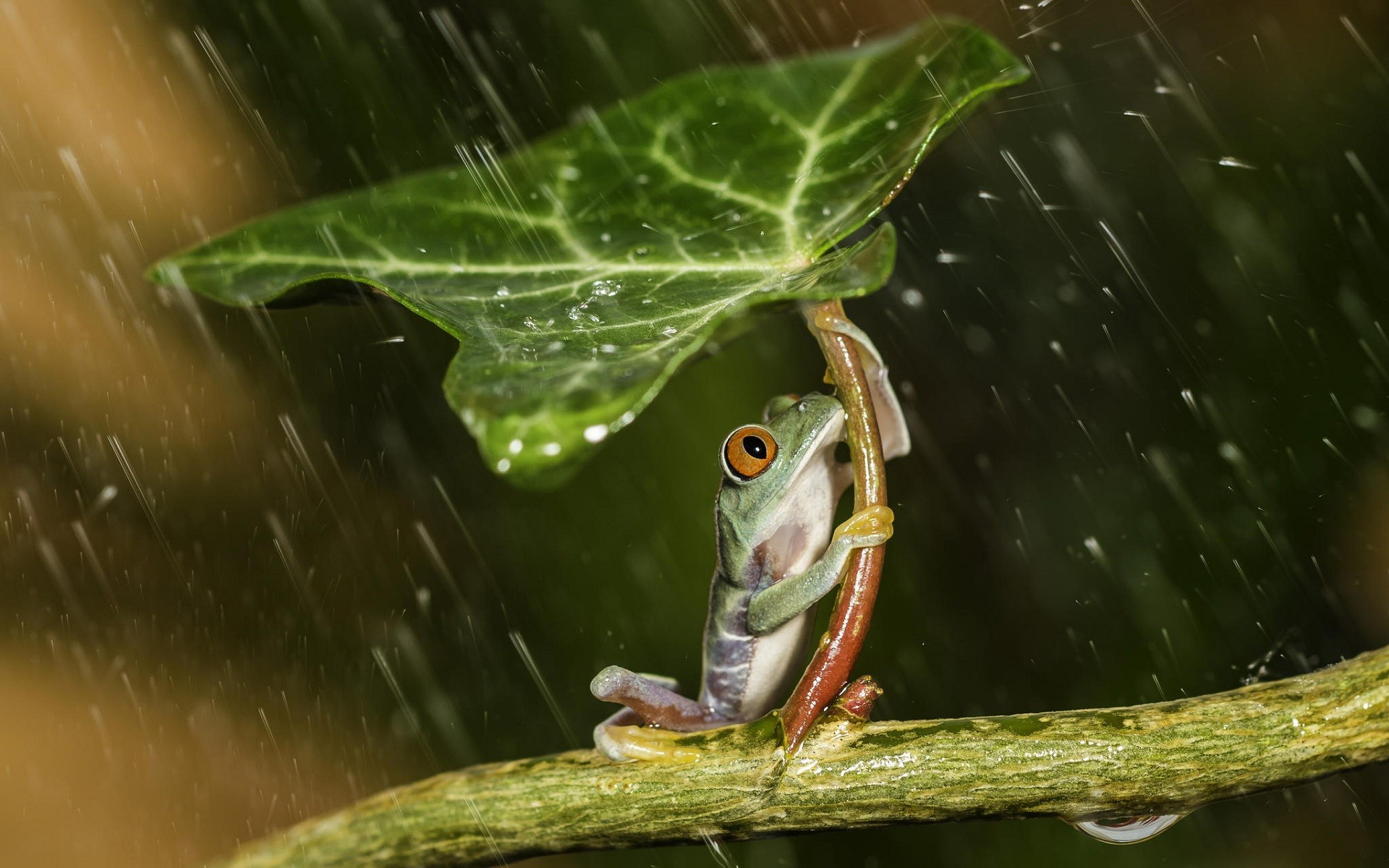 Anime Girl With Umbrellas In Rain Wallpaper Nature Animals Frog Leaves Plants Rain Water Water
