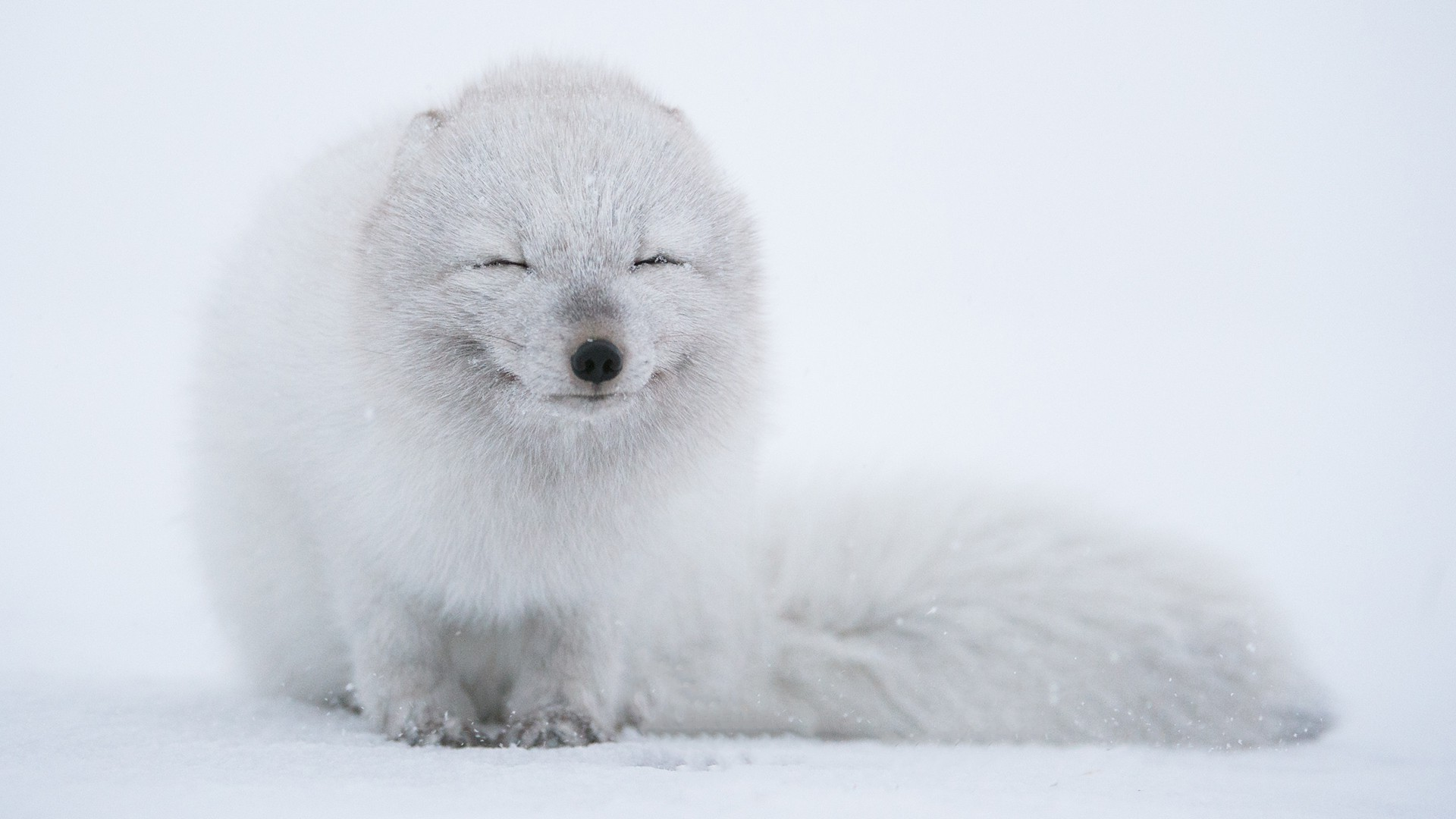 Live Winter Snow Fall Background Wallpaper Arctic Fox Animals Wallpapers Hd Desktop And Mobile