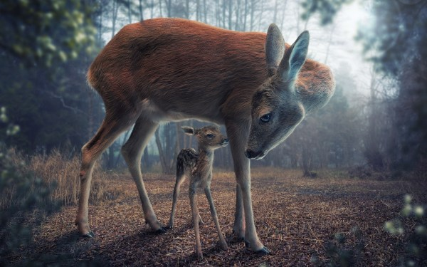 Deer Animals Baby Forest Digital Art Realistic Wallpapers Hd Desktop And Mobile