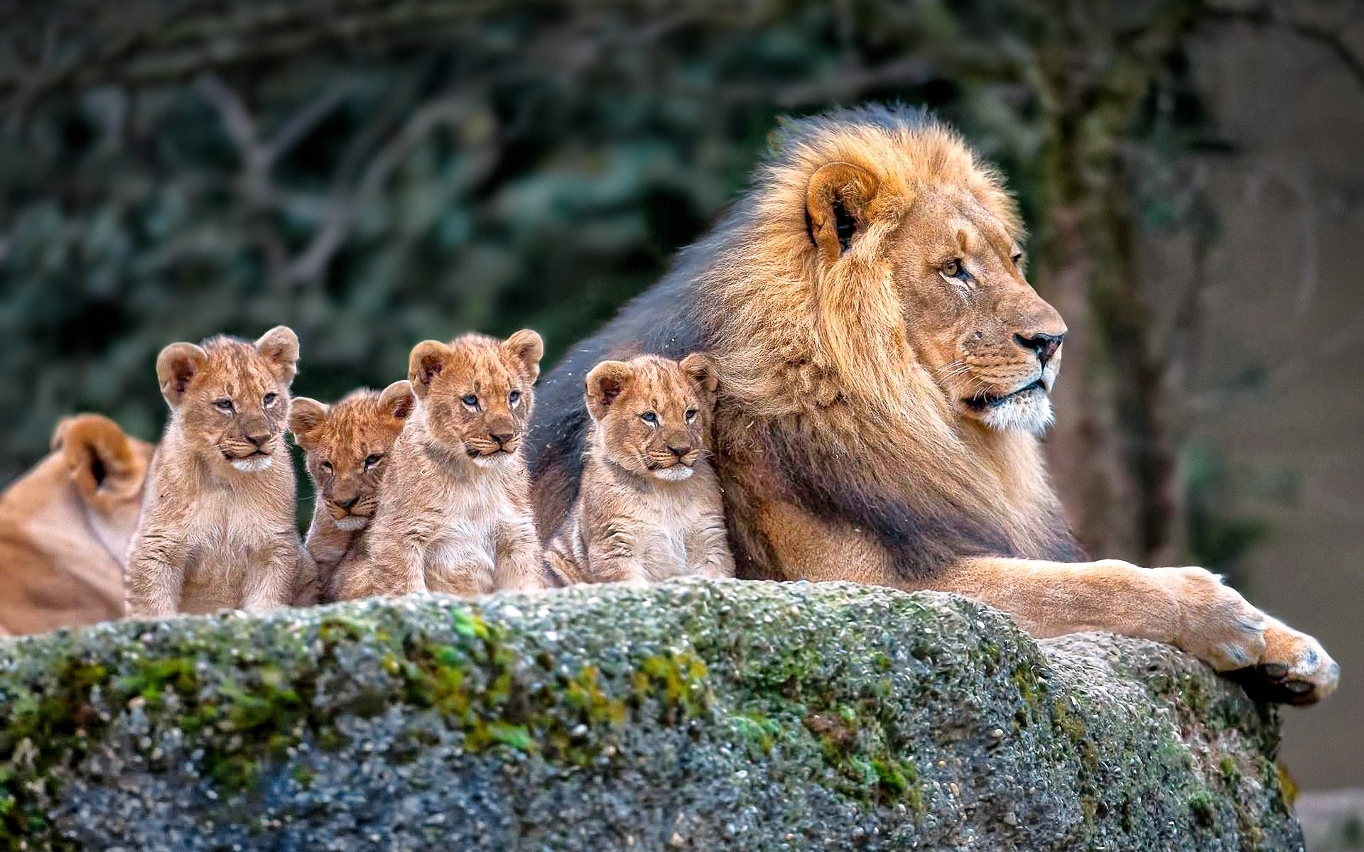 Lion, Nature, Animals, Baby Animals Wallpapers Hd