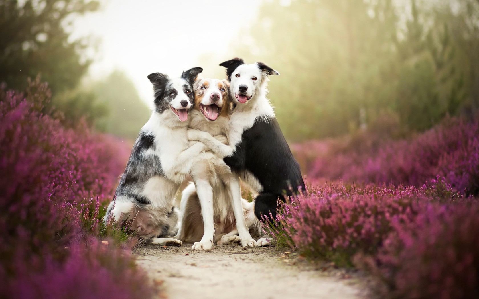 Happy Fall Wallpaper 1366x768 Dog Border Collie Animals Nature Depth Of Field Path