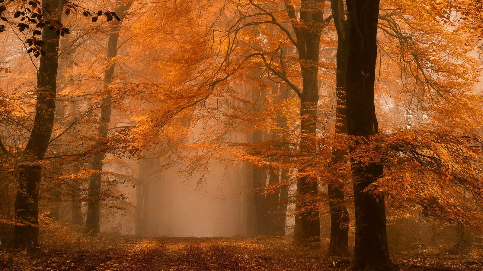 Fall Leaves Wallpaper Nature Landscape Forest Fall Mist Path Amber Leaves