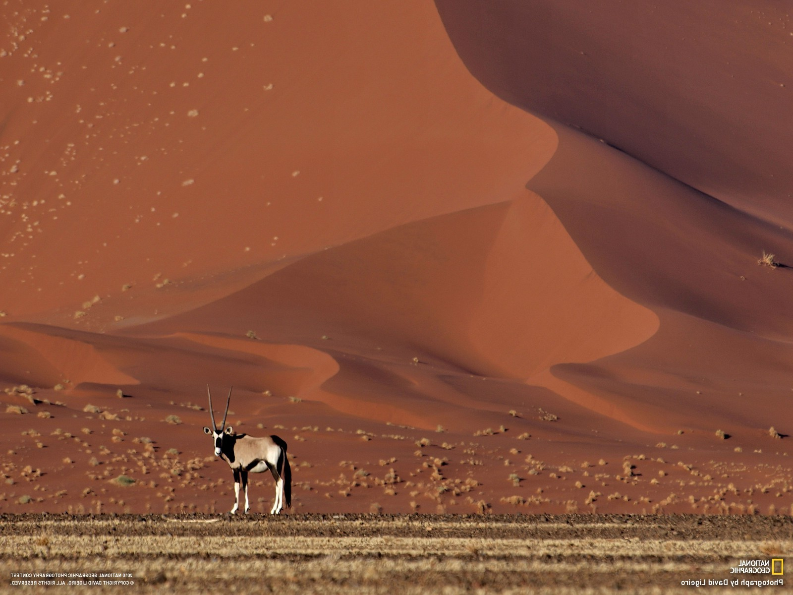 National Geographic Animal Wallpapers National Geographic Desert Sand Dune Animals