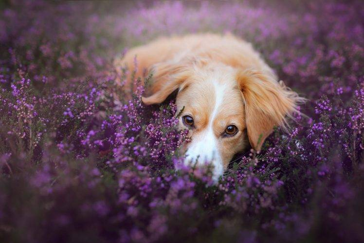 Shiba Inu Cute Desktop Wallpaper Dog Animals Depth Of Field Flowers Purple Flowers