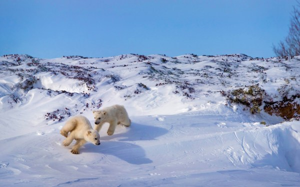 Winter Nature Snow Polar Bears Animals Playing Wallpapers Hd Desktop And Mobile Backgrounds