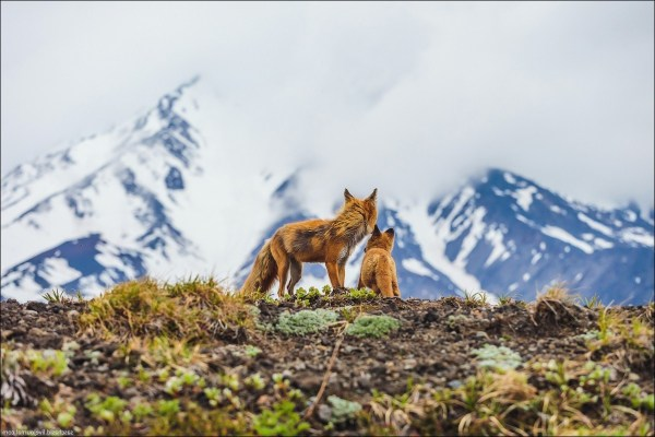 fox animals landscape baby