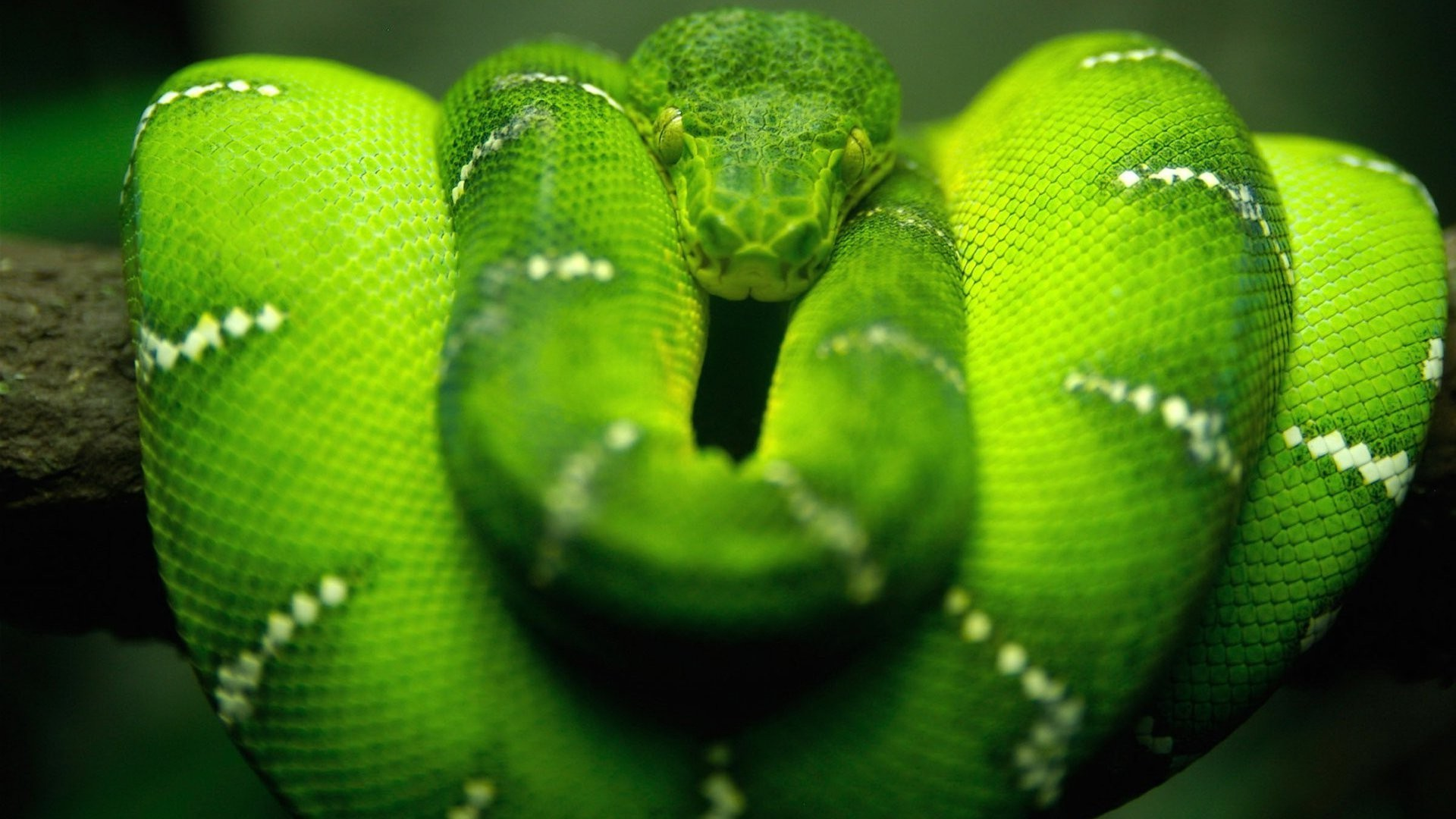 Hd 3d Snake Wallpapers Snake Green Reptile Boa Constrictor Wallpapers Hd