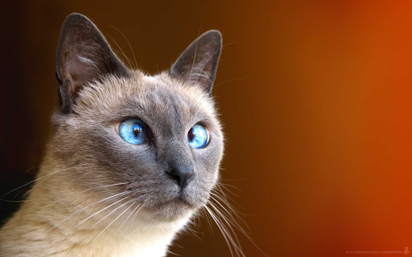 Cute Silly Wallpapers Animals Cat Feline Siamese Cats Wallpapers Hd Desktop