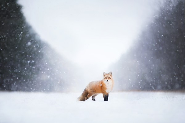 landscape animals fox wallpapers