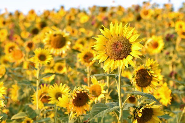 3d Sunflower Wallpaper Field Flowers Yellow Yellow Flowers Sunflowers