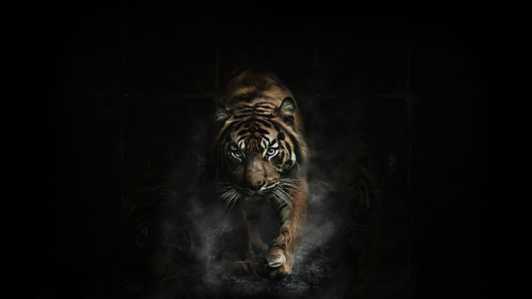 tiger tigers wallpapers hd
