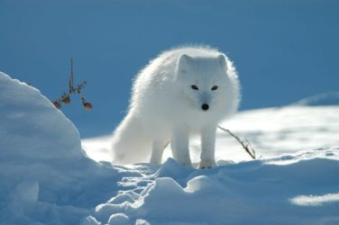 wolf snow fox arctic hd wallpapers desktop background mobile backgrounds px resolution tags